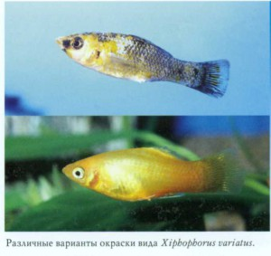 фото рыбки Пецилия трехцветная