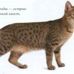 Кошка Пикси-боб, фото