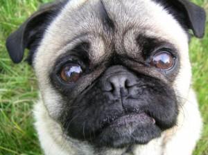 Плачут ли собаки