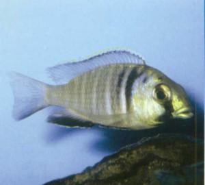 фото рыбки Плацидохромис электра