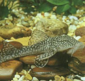Плекостомус Liposarcus anisitsi, фото рыбки
