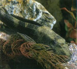 Плекостомус обыкновенный, фото