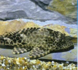 Плекостомус парусный, фото рыбки