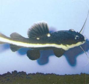 Плоскоголовый сом, фото рыбки