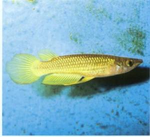 фото рыбки Пляйфери