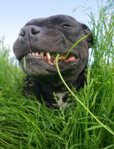 Почему собаки едят траву