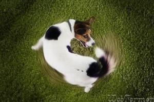 Почему собаки гоняются за своими хвостами