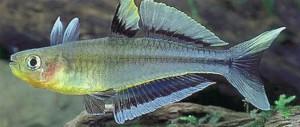 Попондетта голубоглазая, фото рыбки