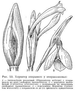 Порядок амариллисовые