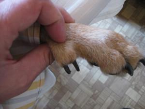 Прибылые пальцы у собаки, фото