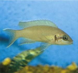 Аквариумная рыбка Принцесса Бурунди, фото