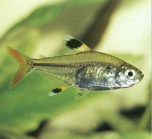 Пристелла Ридлея, фото рыбки