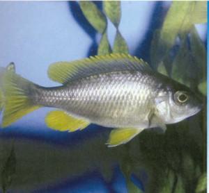 Рыбка Протомелас ленточный, фото