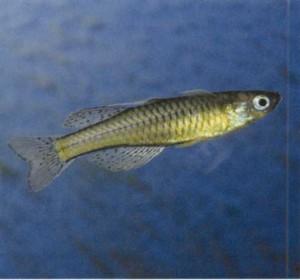 рыбка аквариумная Псевдомугил Гертруды, фото