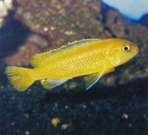 Фото рыбки Псевдотрофеус Барлоу