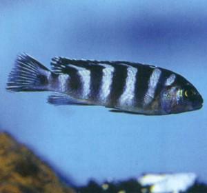 Фото рыбки Псевдотрофеус элонгатус