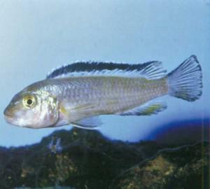 Фото рыбки Псевдотрофеус пиндани
