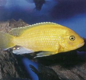 Фото рыбки Псевдотрофеус трофеопс