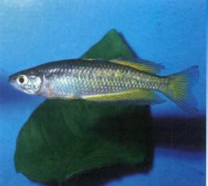 аквариумная рыбка Радужница Паркинсона, фото