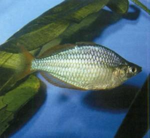 Радужница неоновая, фото рыбки