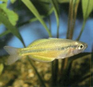 Радужница озера Тебера, фото рыбки