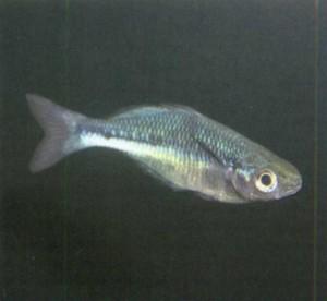 фото рыбки Радужница северная