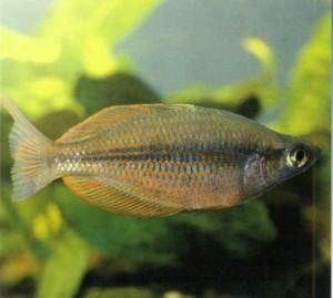 Радужница трехполосная, фото рыбки
