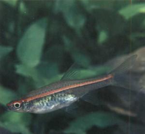 Расбора малайская, фото рыбки