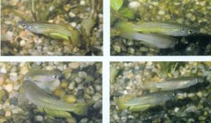 Размножение аквариумных рыб, фото