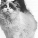 Регдолл фото кошки