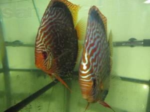 Фото родительской пары аквариумных рыбок