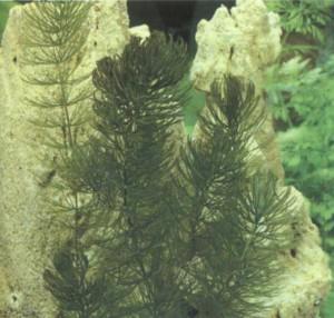 Роголистник светло-зеленый, фото