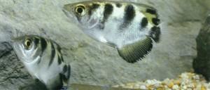 Рыба брызгун фото