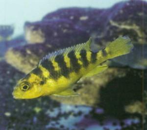Фото аквариумной рыбки «хамелеон»