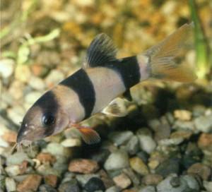 Рыбка боция-клоун, фото рыбки