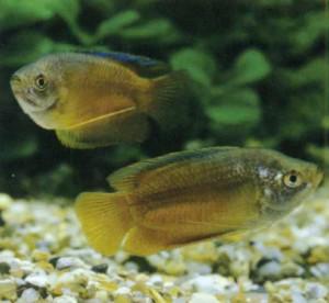 Рыбка лялиус или гурами карликовый, фото