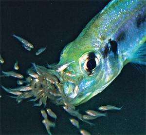 Фото, рыбы, выводящие молодь во рту