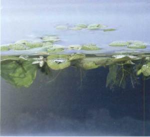 Сальвиния плавающая, фото