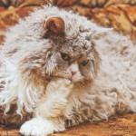 Селкирк-рекс, фото кошки