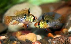 Семейство рыбы-бабочки