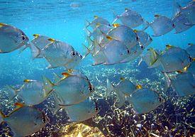 Семейство рыбы-ласточки