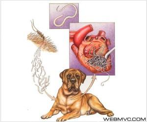Сердечные глисты у собак