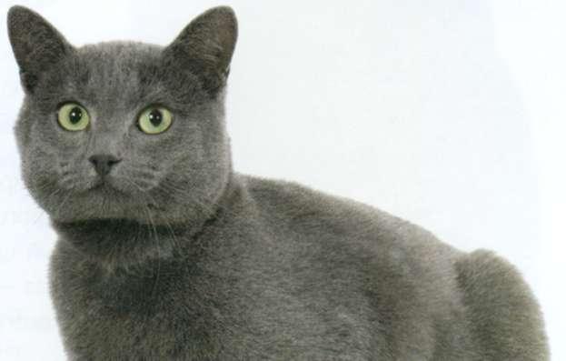 Шартрез, фото кошки