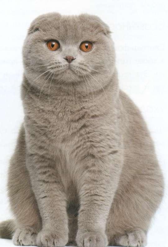 Шотландская вислоухая кошка, фото
