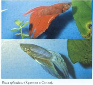 Фото аквариумной сиамской бойцовой рыбки
