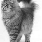 Сибирская кошка, фото