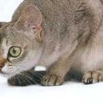Сингапурская кошка, фото