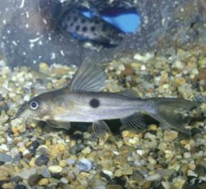 Аквариумная рыбка Синодонт-домино, фото