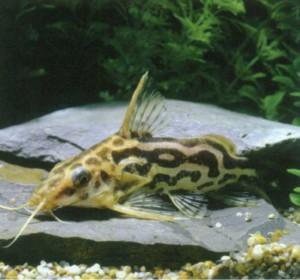 Синодонт ленточный, фото рыбки