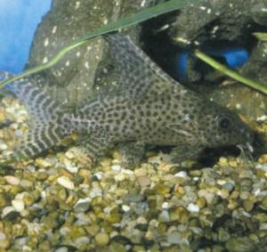 Синодонт вуалевый, фото рыбки